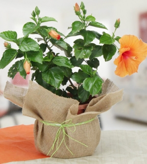 Orange Hibiscus Plant