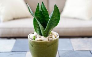 Snakeskin Sansevieria Plant