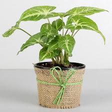 Green Syngonium Plant