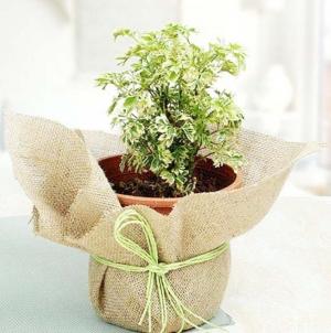 Aeralia Plant
