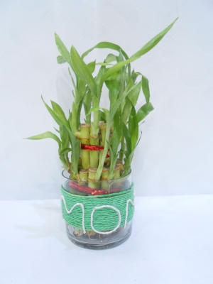 Two Layer Lucky Bamboo (MOM)